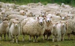 Çoban istihdam edene 5 bin TL destek