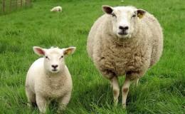 Anaç Koyun Keçi Destekleme Müracaatı Nasıl Yapılır ?